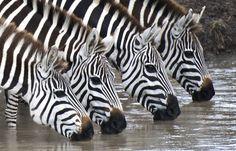 """Thirsty Zebras"" | Photographer: Charles Weinberg"