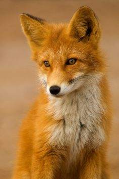 What does the fox say??  DING DING DERINGI