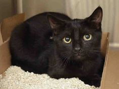 SAUVIGNON - A1048891 - - Manhattan ***TO BE DESTROYED 08/28/15*** TWO KITTENS, CABERNET AND SAUVIGNON, AND 2 YEAR OLD PINOT NOIR ARE THREE PALS WHO WERE FOUND DUMPED IN THE BRONX – AND LIKE THEIR OTHER PAL SHIRAZ FROM YESTERDAY'S LIST, IT IS THEIR TURN TO FACE THE EUTH TECH ON FRIDAY!! Sadly, these three absolutely gorgeous cats were dumped in the yard of someone in the Bronx. We can see easily by how beautiful and groomed they are that they were abandoned pet
