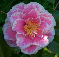 """Camellia """"Hikarugenji""""; aka """"Herme""""."""