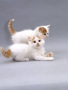 12 x 9 Photographic Print: Domestic Cat, Two Turkish Van Kittens Playing >> baby Guinness? Kittens And Puppies, Cute Cats And Kittens, I Love Cats, Crazy Cats, Kittens Cutest, Types Of Kittens, Turkish Van Cats, Baby Animals, Cute Animals