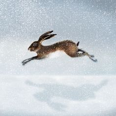 Hare in the snow Greeting Card by Ruth Molloy Down To Earth Cards Jack Rabbit, Rabbit Art, Hare Illustration, Watercolor Effects, Christmas Images, Christmas Cards, Animal Sketches, Painting Inspiration, Artist