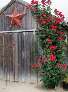gorgeous climbing rose on the rustic barn
