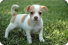 La Habra Heights, CA - Chihuahua/Jack Russell Terrier Mix. Meet Pierre a Puppy for Adoption.