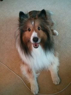 Adorable faces, best personalities, sweetest dispositions.  Shelties are just the perfect animal!