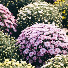 Chrysanthemums are a popular flowering evergreen shrub.