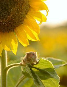 Kleine Maus auf Sonnenblume