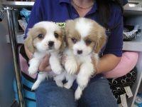 Puppy Shack Puppies For Sale Brisbane Queensland Beagle Bichon X Cavalier King C Cavalier King Charles Spaniel King Charles Spaniel Cavalier King Charles