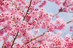 百櫻舞春風 Bloom, Taichung by yameme
