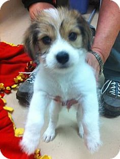 Battle Creek, MI - Shih Tzu/Beagle Mix. Meet Cheese, a puppy for adoption. http://www.adoptapet.com/pet/14178423-battle-creek-michigan-shih-tzu-mix