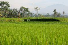 Rizières aux alentours d'Ubud, Bali © Les Jolis Mondes