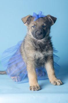 Martha & Santo pup, goldenhausk9.com