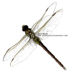 drawings of insects | Dragonfly, Colored Pencil and Watercolor Illustration