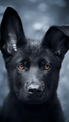 Black German Shepherd dogs mix has resulted in other breeds of dogs like Pugs, Collies, Huskies, and more.This brings out best qualities of both dog breeds. Black German Shepherd Puppies, German Shepherd Pictures, German Shepherds, Sony Xperia, German Shepherd Wallpaper, Black Puppy, Rottweiler Mix, Schaefer, Dog Wallpaper