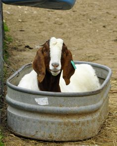 Boer goat chillin out.:) Boer goat chillin out. Happy Animals, Farm Animals, Animals And Pets, Cute Animals, Cabras Boer, Happy Goat, Nubian Goat, Boer Goats, Cute Goats
