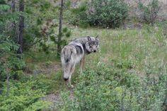 Een wolf in Jasper National Park.