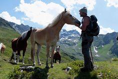 haflinger horses in austria - Google Search