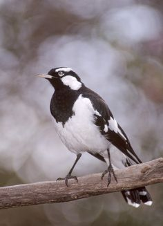 The magpie-lark (Grallina cyanoleuca) is a conspicuous Australian bird of small to medium size, also known as the mudlark in Victoria and Western Australia, the Murray magpie in South Australia, and as the peewee in New South Wales and Queensland. It had been relegated to a subfamily of fantails in the family Dicruridae (drongos), but has been placed in a new family of Monarchidae (monarch flycatchers) since 2008.