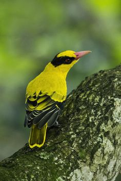 Black-naped Oriole  (Oriolus chinensis) by Allan Seah on 500px