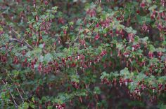 Ribes californicum, Hillside Gooseberry or California Gooseberry-- thorny, takes moderate water-- plant under persimmon to keep coyotes from eating persimmons