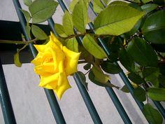 Yellow Rose of Texas...San Antonio River Walk