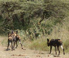 Wild dog on the move at Loisaba Wilderness, Laikipia, Kenya  21.7.12  https://www.facebook.com/media/set/?set=a.10151341016480008.813729.10150107915730008=3
