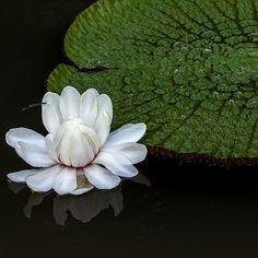 Bunga Teratai Air Besar - Giant Waterlili - Victoria amazonica link wikipedia : en.wikipedia.org/wiki/Victoria_%28plant%29