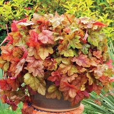 Heucherella Falls 'Redstone Falls' - Foamy Bells - Heucherella 'Redstone Falls' has fabulous trailing orange, marmalade and pink foliage for hanging baskets and ground cover. Better for the shade than Heuchera. Fall Perennials, Herbaceous Perennials, Coral Bells Heuchera, Biennial Plants, Monrovia Plants, Plant Catalogs, Large Plants, Foliage Plants, Shade Plants