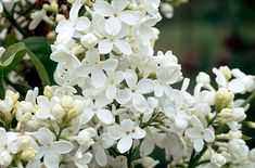 Syringa vulgaris 'Vestale' Lilac