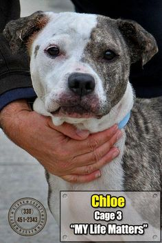 01/02/16---03 Chloe is an adoptable Pit Bull Terrier searching for a forever family near Canton, OH. Use Petfinder to find adoptable pets in your area.