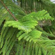 Norfolk pine tree on pinterest norfolk island pine and norfolk