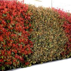 photinia 39 carr rouge 39 plantes de haie pinterest photinia red robin carr rouge et pare vue. Black Bedroom Furniture Sets. Home Design Ideas