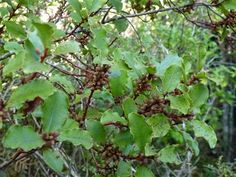 Myrsine australis - mapou/ red matipo Tall Shrubs, Small Trees, Fruit, Banks, Red, Couches
