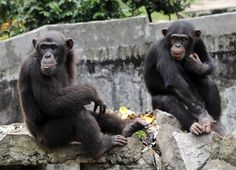 Study: Chimps Learn How to Use New Tools From Other Chimps | Times