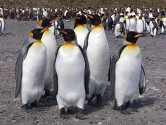 King Penguins have 70 feathers per every square inch. Description from life-sea.blogspot.com. I searched for this on bing.com/images