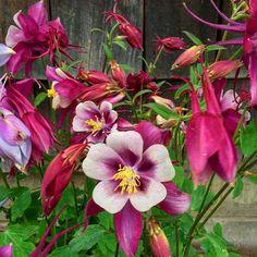 Dance riot #columbine #floral #florals #flower #flowerpower #flowermagic #flowerstagram #flowerloversdaily #garden #growth #icu_nature #icu_global #ig #igers #igdaily #igaddict #iger #igersoftheday #igerslongisland #marissabridge