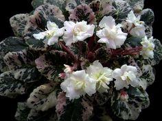 Party Frills (#8407) 03/08/96 (H.Pittman)  Махровые кремово-белые оборчатые и бахромчатые цветы; очень красивая белая пестролистность на темных листьях. Полумини.