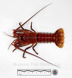 lobster_spiny.jpg (746×810)