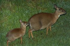 Suni antelope baby :)