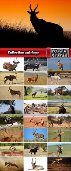 Collection antelope horn herbivore nature landscape 25 HQ Jpeg