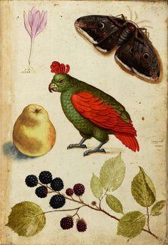Ulisse Aldrovandi (1522-1605), Specimens of Nature. Watercolour....