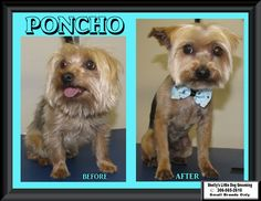 The 3 Little Yorkies were in - Poncho! I tried to get a picture of Poncho & a video but he would lay down & face the other way. Poncho is very good for his groom but loves to lay down & turn around when you are grooming his little face. :)