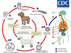 The life cycle of hydatid tapeworm begins when humans ac as an accidental intermediate host and ingest eggs by close contact with infected dogs.   The hexacanth embryo then migrates to different tissues and develops into a hydatid cyst.  The diagnostic stage can be categorized by the develpment of hydatid cysts in the liver lung or other organs.   CDC - Echinococcosis - Biology
