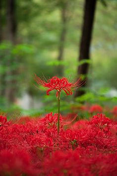 most beautiful flower i have ever seen Most Beautiful Flowers, Pretty Flowers, Wild Flowers, Red Spider Lily, Red And White Flowers, Dark Drawings, Background Drawing, Scenery Wallpaper, Garden Theme