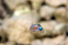 bobtail squid - Google Search