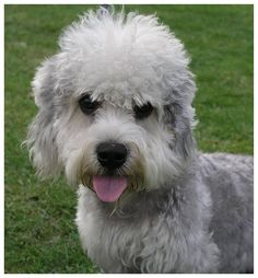 I WOULD LOVE TO HAVE A DANDIE DINMONT TERRIER.