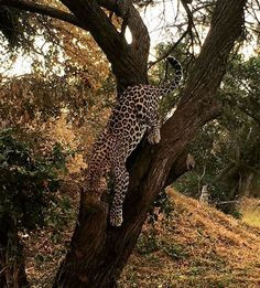 You must be at the right time at the right spot to spot the leopard. He is so nicely camouflaging himself in the tree . or you are crazy about birds and spot them by accident all the time World Of Wanderlust, Crazy About You, Right Time, In The Tree, Outdoor Life, Wildlife Photography, Camouflage, Birds, Travel