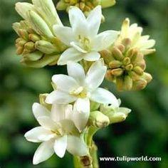 Tuberose in Lush Gardenia,
