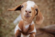 Google Image Result for http://escuelitadelalma.com/wp/wp-content/uploads/2011/10/Goat-at-the-petting-zoo.jpg