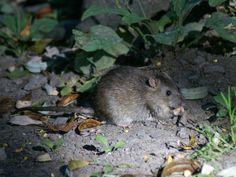 http://faaxaal.forumgratuit.ca/t2860-photo-de-muride-rat-surmulot-rat-d-egout-rat-de-norvege-rattus-norvegicus-brown-rat